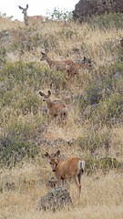 5 mule deer (jimbobphoto) Tags: montana deer climb rocky brush