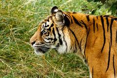 Sumatran Tiger (Ukfalc) Tags: tiger sumatrantiger panthratigrissumatrae portrait bigcat cat mammal animal profile whf wildlifeheritagefoundation thebigcatsanctuary bigcatsanctuary headcorn kent 7dii 70300l canon