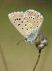 De reposo (Maite Mojica) Tags: mariposa lepidptero lepidoptera insecto artrpodo lycaenidae licnido polyommatus bellargus azul nia celeste