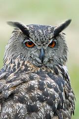 _DSC9248 Oehoe / Eurasian eagle owl (Gert_Paassen new followers, read my profile) Tags: owl uil jager hunter prey prooi vogel bird nederland limburg maastricht niederlande netherlands eagleowl outdoor nikon veren veer feathers stucture ngc npc
