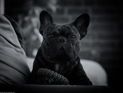 (Dionysos_Lichtenhauos) Tags: animal a6000 carlzeiss baby bulldog bully bokeh bw black blackwhite classic dog dogs hund ef5518 sel55f18z zeiss5518 zeiss pet frenchie frenchbulldog friend friends sonyflickraward sonysel55f18z lneburg sheldon photo sony sonya6000 sommer