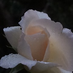Rugiada . (esterinaeliseo1) Tags: petali gocce flower fiore rugiada macro rosa
