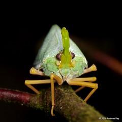 Fulgorid hopper, Enchophora prasina (Ecuador Megadiverso) Tags: amazon fulgoridhopper fulgoridae hemiptera lanternbug pastaza rainforest truebug andreaskay ecuador enchophoraprasina idbymarcogaiani
