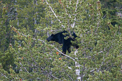 Crazy Bear In Tree 2227 (casch52) Tags: bear tree mammal animal wildlife wild nature fur cute ursus climb brown climbing cub looking big omnivore predator beautiful young fauna watching black face captive arctos forest life background portrait ursusarctos animalia nose carnivore danger dangerous joy closeup feeding eye family claws relaxing canada nordic sweet furry paw woods outdoors crazy 400mm canon f4 dois sapling antics fun