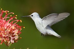 Leucistic Anna's Hummingbird (Thy Photography) Tags: leucisticannashummingbird annashummingbird animal avian bird backyard nature outdoor photography fullframe fly flowers allenshummingbird depthoffield