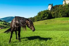 Horse and Ankenballen (FraVal Imaging) Tags: baselland pentaxday svizzera landschaft svizzra switzerland boelchen kilchzimmer pferd langenbruck baselbiet suisse jura belchen flue pastures schweiz flickr nordwestschweiz ankenballen equus blchen fauna horse pentaxforum natur