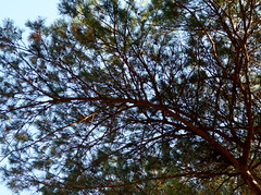Scotch Pine (Dendroica cerulea) Tags: scotchpine scotspine pinussylvestris pinus pinaceae pinales pinopsida pinophyta pine tree conifer summer highlandpark middlesexcounty nj newjersey
