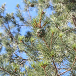 Pinus cembroides (Mexican Pinyon Pine) - cultivated thumbnail