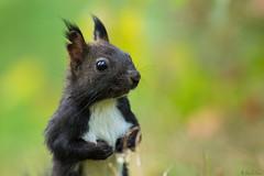 Carpathian squirrel (Liviu T) Tags: wildlife nature squirrel