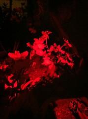 Botanical Gardens Light Up (LaurenFratantonio) Tags: flowers plants flower art colors beautiful night buffalo nightlights nighttime coloredlights wonderland botanicalgardens enchanting buffalonewyork buffaloanderiecountybotanicalgardens uploaded:by=flickrmobile flickriosapp:filter=nofilter laurenfratantonio wistfulvictorian