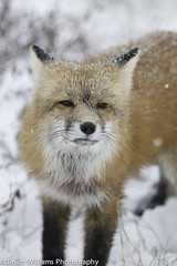 "A red fox in Churchill, Manitoba. • <a style=""font-size:0.8em;"" href=""http://www.flickr.com/photos/92120860@N06/8453683811/"" target=""_blank"">View on Flickr</a>"