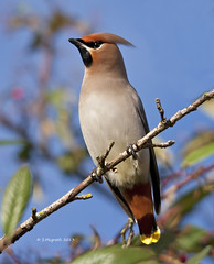 waxwing (Glesgastef) Tags: bird nature canon photography scotland wildlife wing scottish sigma bbc wax migration 500mm bohemian waxwing migrant scandanavia lanarkshire wishaw 40d winterwatch 150500mm