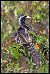Immature African Grey Hornbill (MAC's Wild Pixels) Tags: kenya ngc npc hornbill masaimara africangreyhornbill goldwildlife naturesgreenpeace allnaturesparadise allofnatureswildlifelevel1 allofnatureswildlifelevel2 macswildpixels