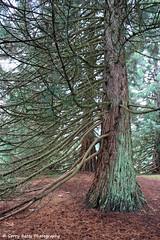 Giant Sequoia (gerry.bates) Tags: trees canada nature vancouver canon garden botanical britishcolumbia branches trunk sequoia giantsequoia sequoiadendrongiganteum vandusenbotanicalgarden