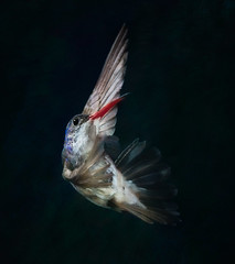 Ballerina..!! (Alfredo11) Tags: motion nature colors speed mexico nikon bravo hummingbird flash colibri nikoncreativelightingsystem