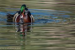 LOVE IN THE PARK 5 (Wideangle55) Tags: love birds reflections duck nikon handheld mandarin watercolors mandarinduck laarboretum loveinthepark nikond800 wideangle55 300f282xteleconverter
