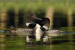 Loon Romance (MAP63012_611) (maryanne.pfitz) Tags: lake reflection nature water birds wildlife chick loons wi tomahawk commonloon gaviaimmer divingbird courtshipdisplay specanimalphotooftheday avianexcellence naturesharmony loonfamily maryannepfitzinger