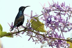 Purple Sunbird on its favorite Springtime vine (BigMs.Take) Tags: flowers urban male nature gardens spring vines nikon indigo mauve purplesunbird sandpapervine moutushi birdsofbangladesh d300s phalgun neelmonimala