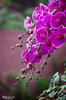 Puple Orchid (Ali Mahfoodh) Tags: morning flowers orchid flower singapore purple soul