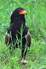 Bateleur with barbel kill (Arno Meintjes Wildlife) Tags: africa park camp wallpaper holiday color art nature animal animals closeup southafrica bush wildlife safari explore endangered animalplanet mammalia rsa krugernationalpark mpumalanga krugerpark carnivore bateleur birdwatcher excellence big5 naturelovers knp sanparks naturesfinest terathopiusecaudatus naturescall flickrsbest meintjes colorphotoaward arnomeintjes naturewatcher internationalgeographic naturesgreenpeace