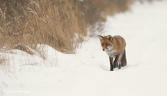 search ... (Alex Verweij) Tags: winter snow search sneeuw fox hungry awd searching vos redfox reinier honger zoeken zoek jagen jacht 2013 alexverweij
