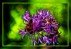 Burnet  Moths (scorpion 13 /) Tags: summer mountain blur flower nature butterfly season flora blossom walk cologne frame moths photoart burnet knapweed zygaena filipendulae