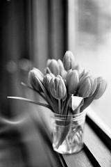 monochromatic spring (jamie {74}) Tags: flowers bw film 50mm nikon tulips f100 nikkor windowsill ilford filmscan ilfordhp5plus