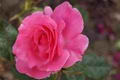 "Rosa ""Romance"" (john47kent) Tags: supershot dragondaggerphoto dragondaggeraward coth5 sunrays5"