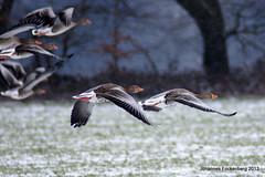 Schneeflug (grafenhans) Tags: schnee winter sony tamron gänse grafenwald slt55 5663200400