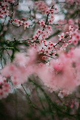 a waking dream (after october) Tags: pink flowers blur film rain spring bokeh blossoms plum pentaxk1000 fujisuperia400 plumblossoms floweringtree