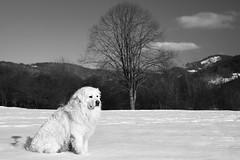 Zeus (Norbert Králik) Tags: winter bw dog snow tree landscape zeus canoneos5d canonef24105mmf4lisusm