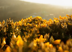 Ulex sp. (nicholas.cross5) Tags: yellow scotland edinburgh eveningsun mellowyellow braid blackfordhill gorse springcolour ulexsp