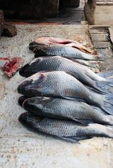 Fish for sale by the Panjnad river (Batool Nasir) Tags: fish river fresh editorial punjab bahawalpur panjnad ©batoolnasir