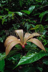 60031845 (wolfgangkaehler) Tags: plants plant leave southamerica leaves ecuador amazon rainforest vegetation plantlife tropicalrainforest rionapo plantleaf rainforests amazonrainforest amazonbasin plantleaves tropicalrainforests rionapoecuador