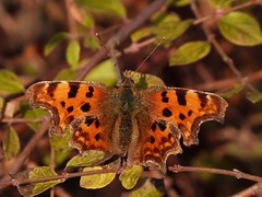 Comma (ukstormchaser (A.k.a The Bug Whisperer)) Tags: uk winter animal animals butterfly march fly spring bush wildlife butterflies flies milton keynes comma commas