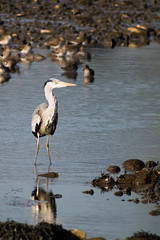 untitled-1705.jpg (Tim Geary) Tags: bird heron nikon lough birding d800 larne islandmagee digiscope ballycarry