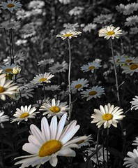 Pushing up the Daisies (explore) (kenny barker) Tags: explore
