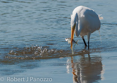 Good Fisherman (ChicagoBob46) Tags: bird sanibel sanibelisland egret greategret autofocus jndingdarlingnwr goldwildlife allnaturesparadise
