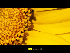 Full yellow [Explore] (Sandro V-R ) Tags: flower macro nature colors yellow amazing nikon tubes natura full giallo land dettagli extension tamron 90mm petali f28 geometrie immersione pistilli d80 prolunga estenzione