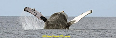 Welcome To Maui (MichaelDanielHo) Tags: photography hawaii wildlife watching maui whale humpback breaching abigfave