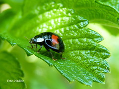 Asian Immigrant (In Explore) (Nadine V.) Tags: macro nature ngc beetle panasonic explore ladybird ladybug nophotoshop coccinelle kever compactcamera asianladybeetle coccinellidae lieveheersbeestje harmoniaaxyridis japaneseladybug harlequinladybird sooc veelkleurigaziatischlieveheersbeestje naturesharmony fz38 panasonicdmcfz38 fz35 dmcfz38 dmc38 themanynamedladybird