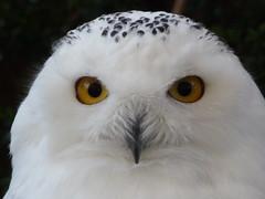 Snow Owl / Civetta delle nevi (libra1054) Tags: snow owl schnee eule civetta
