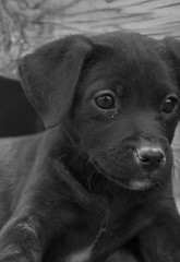 Josephina Close Up (Immature Animals) Tags: bw rescue baby white black animal puppy lab labrador marshall derek bark pup koalition derekmarshall barktucson