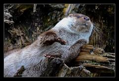 Europäischer Fischotter (Philipp_R) Tags: salzburg zoo österreich tierpark tiergarten hellbrunn fischotter anif europäischerfischotter