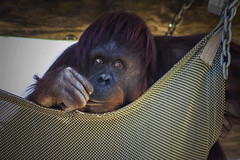 that look (psyberartist) Tags: portrait animals tampa zoo florida orangutan monkeys apes primates lowryparkzoo