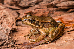 Rana aurora (Northern Red-Legged Frog) (John P Clare) Tags: california frog eggs juvenile redlegged ranaaurora redleg northernredleggedfrog