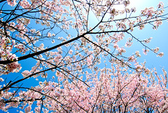 Wild Cherry Blossoms  (Sue Ann Simon) Tags: pink flowers blue school flower nature japan cherry japanese 50mm see petals spring nikon picnic pretty day bright 10 vibrant flash ngc blossoms wide wideangle bluesky highschool lookingup petal tokina clear   sakura cherryblossoms bud  nagasaki hanami sasebo     wideanglelens flowerviewing   lifeinjapan  10favs dayflash  prunusserrulata flowerumbrella tokina1116mm tokinaaf1116mmf28 morethan10favs sueannsimon tokina  sakuraspringjapansasebo