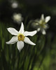 Happy Easter (janusz l) Tags: flowers flower love yard garden easter blessings happy hope early spring bokeh health daffodil daffodils alleluja janusz leszczynski hehasrisen mywinners 224120 20130329