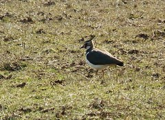 Striking features and such beautiful colours! (wakeuplittlesuzy) Tags: bird colours lapwing features striking tockholes