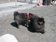 Dog park March 31 2013 (Anen) Tags: bear park dog march mix nb fredericton papillon pomeranian dustbunny 2013